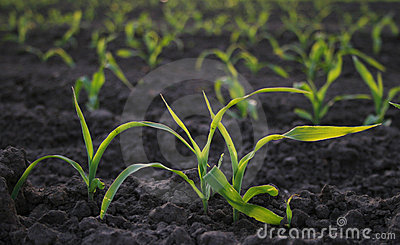 Increasing Corn Stock Photos - Image: 3418883