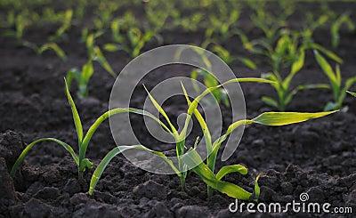 Increasing corn