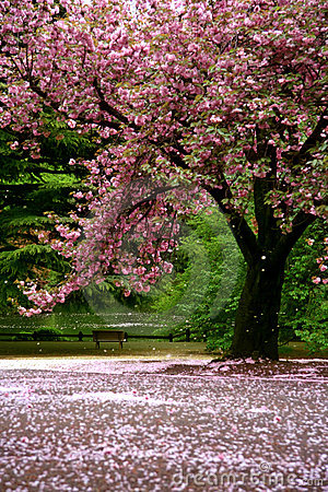 Free Incredible Scene - Cherry Blossom Snow Royalty Free Stock Photo - 6239425