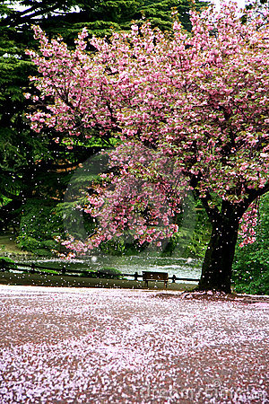 Free Incredible Scene - Cherry Blossom Snow Stock Image - 6239471