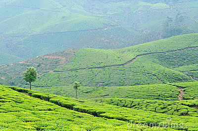 India, Kerala, tea plantation