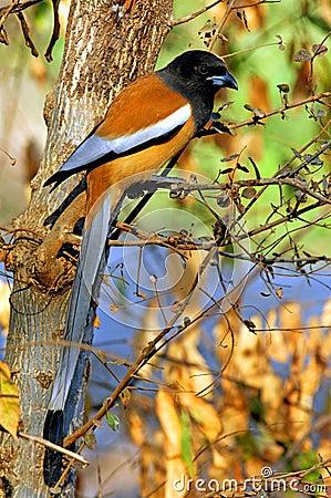 India, Ranthambore: bird