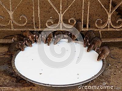 India - Rat temple
