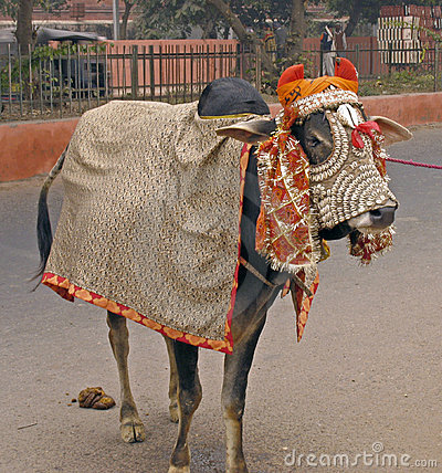 India - sacred cow