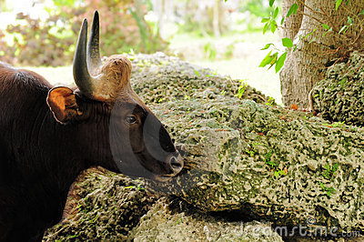 Indian Bison, Gaur