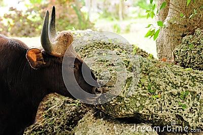 Indian Bison, Gaur