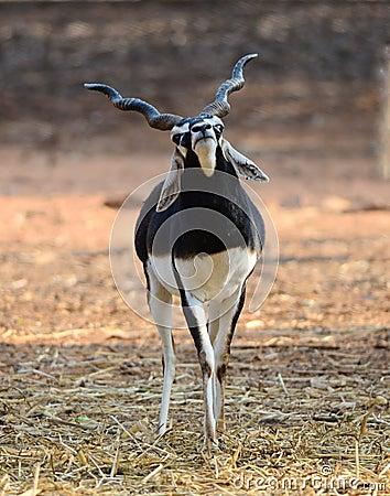 Free Indian Black Buck Antelope Stock Photography - 23663432