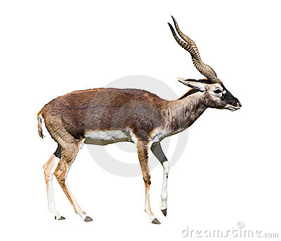 Indian Black Buck cutout