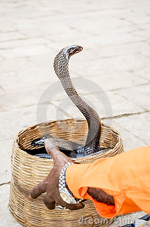 Indian Cobra And Charmer Hand Stock Photo