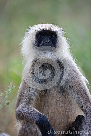 Indian Common Langur monkey