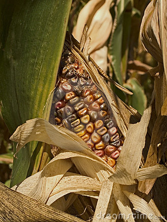 Free Indian Corn Stock Photography - 228482