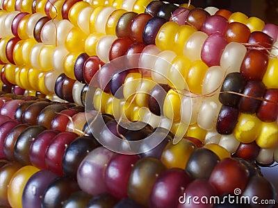 Indian Corn