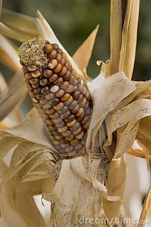 Free Indian Corn Royalty Free Stock Image - 4176546
