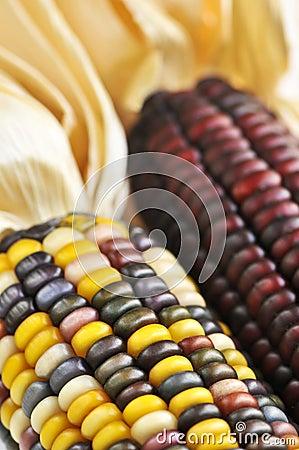 Free Indian Corn Stock Photos - 6515243