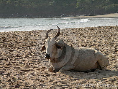 Indian cow on the beach