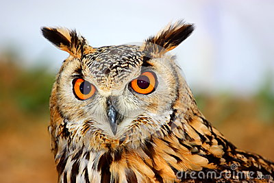 Indian Eagle-Owl (Bubo bengalensis)