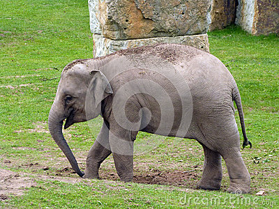 Indian Elephant baby
