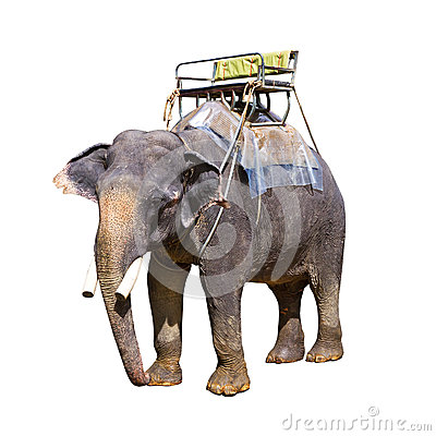 Indian elephant with bench