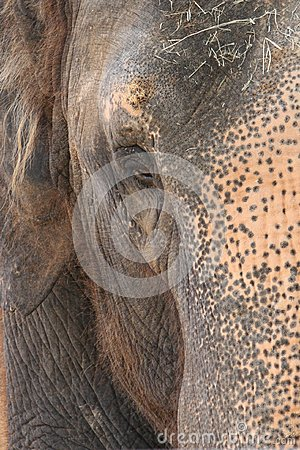 Indian elephant eye