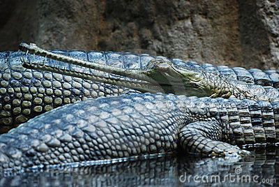 Indian gavial (Gavialis gangeticus)