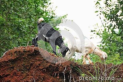 Indian Goats