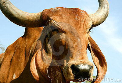 A Indian golden cow