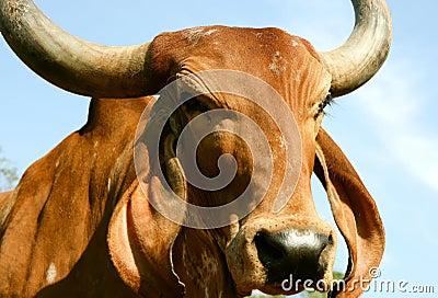 A Indian golden cow