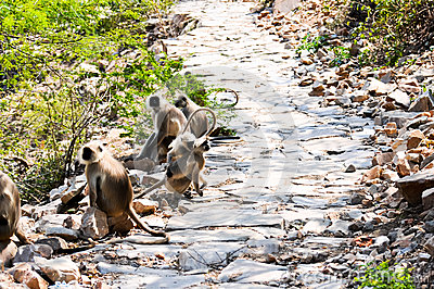 Indian langurs at the hillside pathway