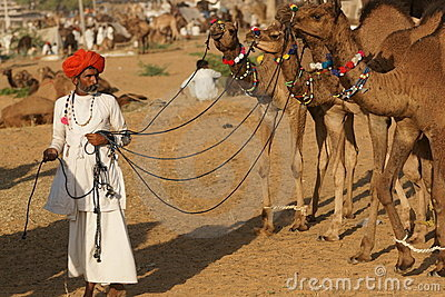 Indian Man with Camels Editorial Stock Image