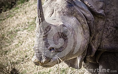 Indian one horned rhinoceros at Royal Chitwan