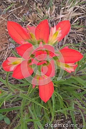 Free Indian Paintbrush Royalty Free Stock Photos - 89739698