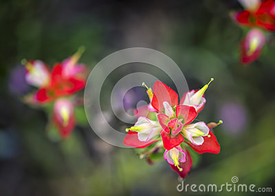 Indian Paintbrushes