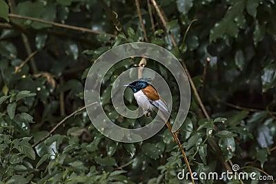 Rufous morph Indian paradise flycatcher or Terpsiphone paradisi Stock Photo