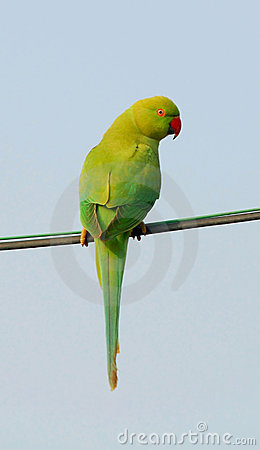 Indian Parrot