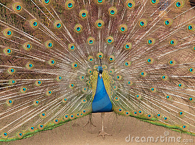 Indian Peacock displaying colours Stock Photo