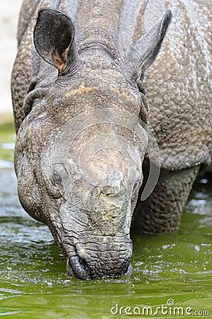 Indian Rhinoceros – (Rhinoceros unicornis)