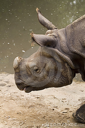 Free Indian Rhinoceros Stock Images - 1606234