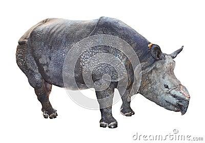 The Indian rhinoceros.