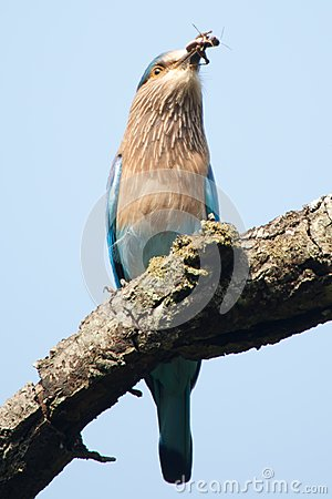 Free Indian Roller Swallowing Grub Stock Photo - 35313320