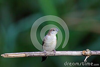 Indian Silverbill, Lonchura malabarica