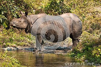 Rhino near a stream