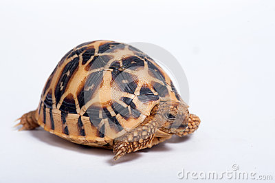 Indian Star Tortoise (Geochelone elegans) isolated on white back