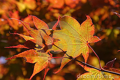 Indian summer Maple leaves