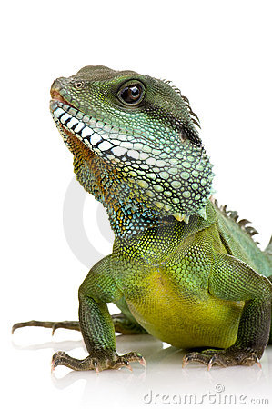 Free Indian Water Dragon - Physignathus Cocincinus Stock Image - 3685831
