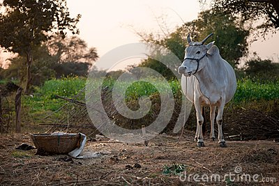 Indian white cow in farmland