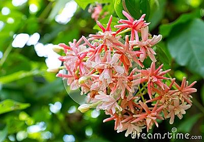 Indica flower