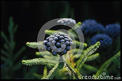 Indigenous Plant