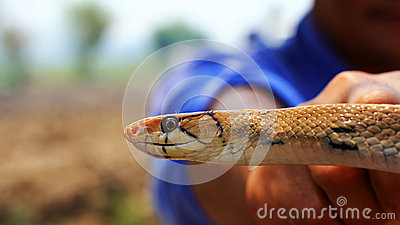 Indochinese rat snake