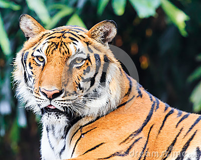 Indochinese Tiger in Zoo