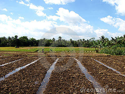 Indonesia Crop Field
